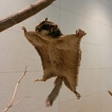leteca veverica