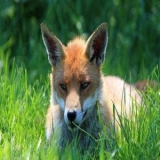 FOX88007